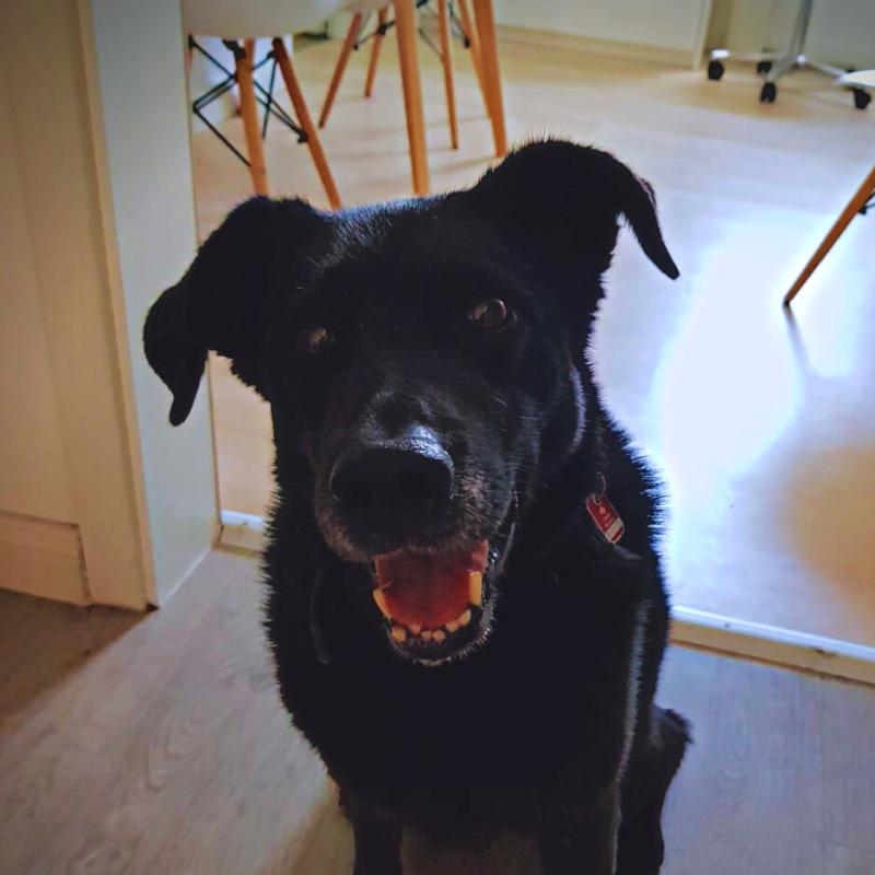 Lächelnder Tischlerhund Ember